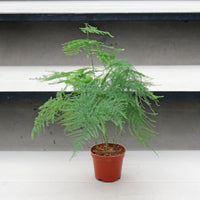 Asparagus Fern in Plastic Pot