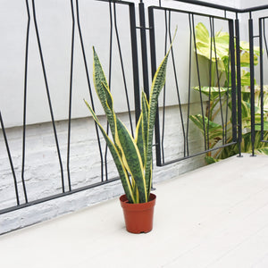 Sansevieria Laurentii - 'Mother-in-law's Tongue' in Plastic Pot