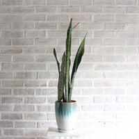 Sansevieria trifasciata 'Black Coral' in Small Tasseled Design Planter