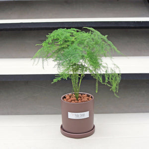 Asparagus Fern in Small Grey Ceramic Planter