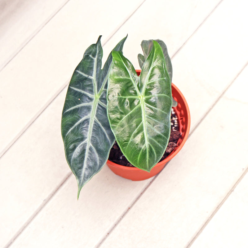 Alocasia Polly in Plastic Pot