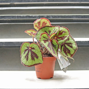 Begonia masoniana 'lonely rock' in Plastic Pot (RARE & IMPORTED)