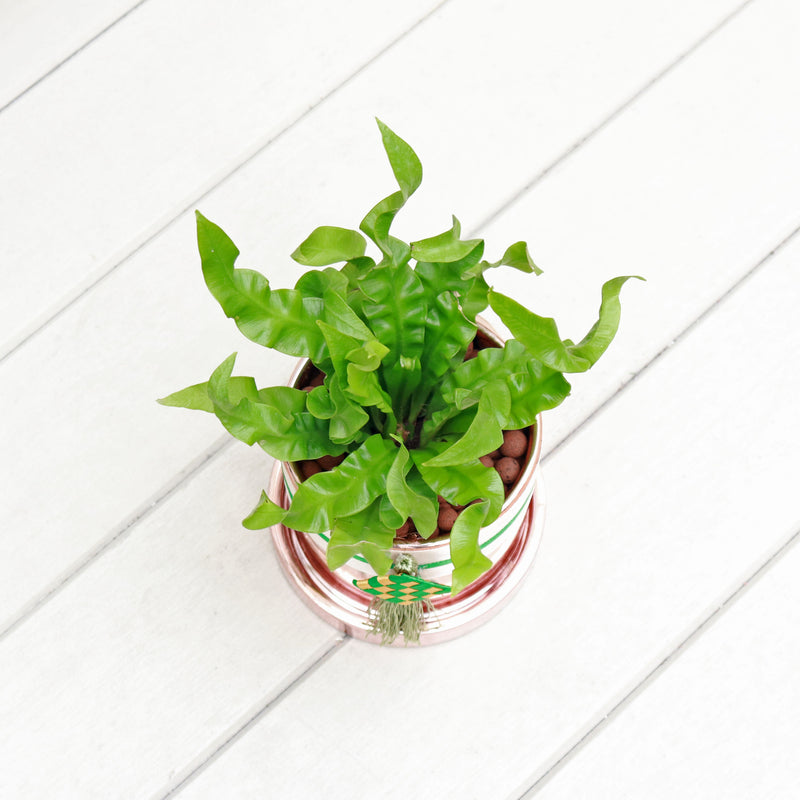 Asplenium Osaka - Japanese Bird's Nest Fern in Round Glossy Rose Gold Planter