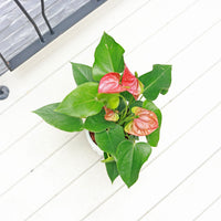 Anthurium andraeanum (Red) Small in Small White Homey Planter