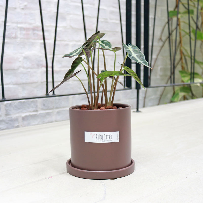 Alocasia Bambino in Medium Grey Planter with Saucer