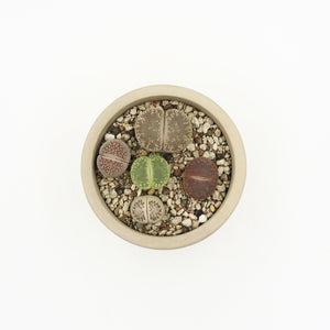 Lithops in Pulpy Small Tubular Planter A