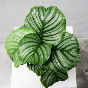 Calathea Orbifollia in Plastic Pot