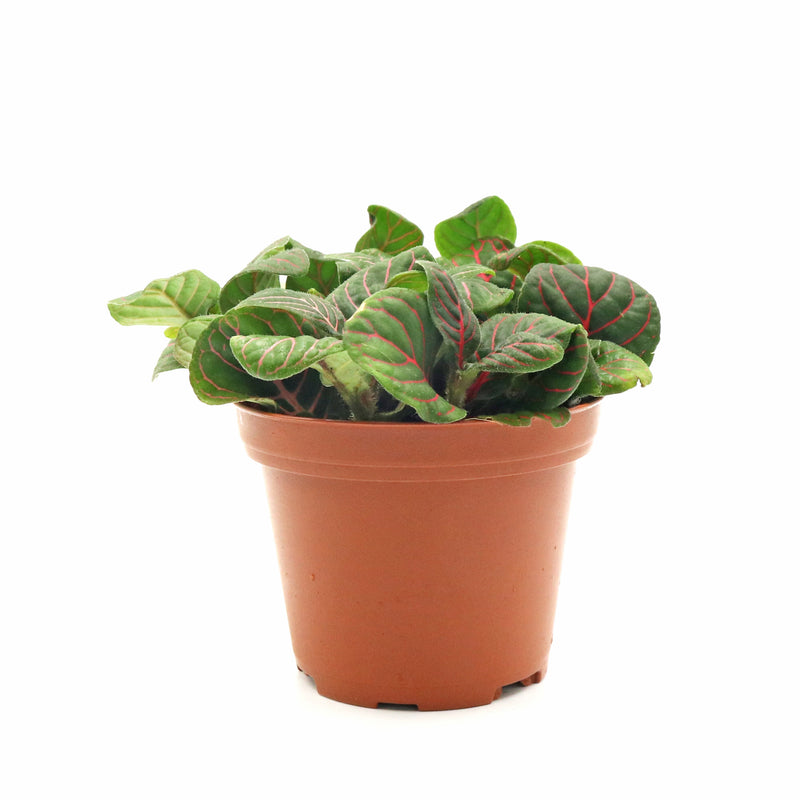 Fittonia Dark Green