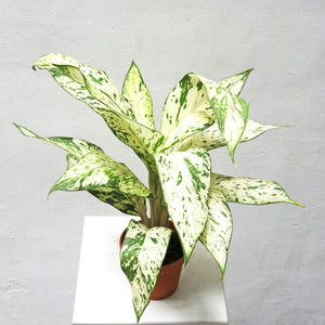 Dieffenbachia Delilah in Plastic Pot (Small)