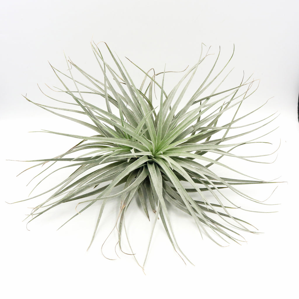 Air Plants - Tillandsia ionantha