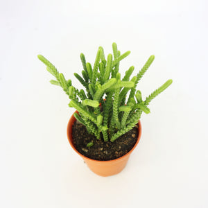 Crassula Muscosa 'Watch Chain'