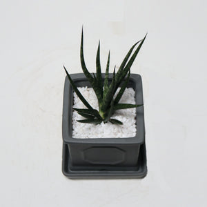 Sansevieria Francisii in Small Square Planter