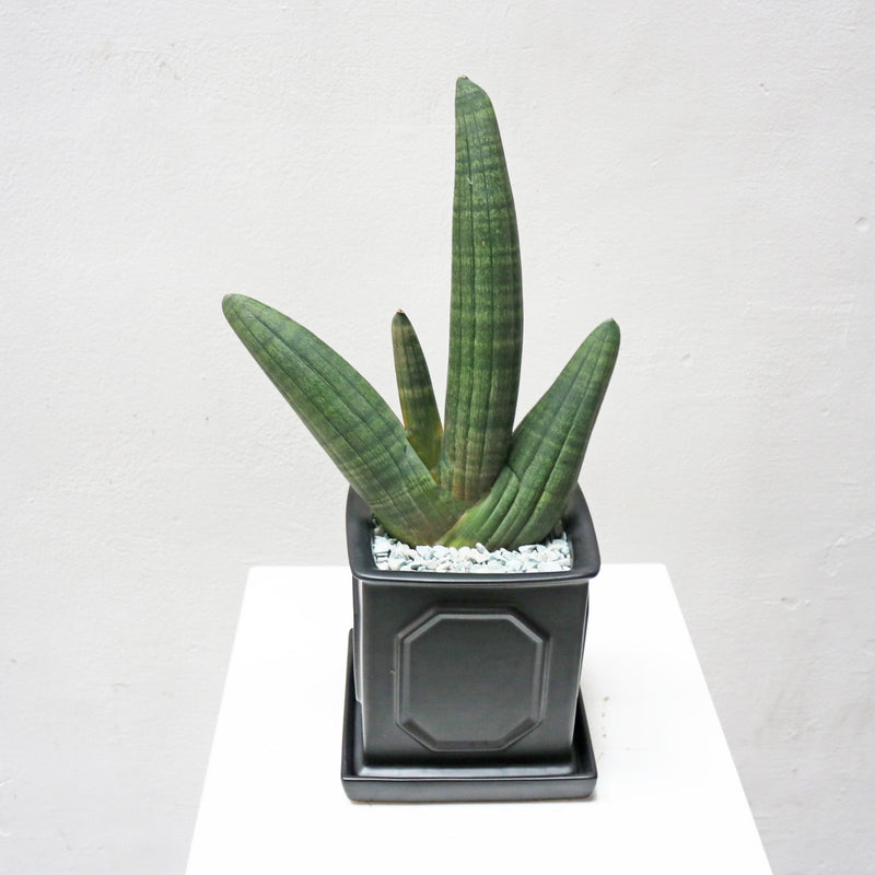 Sansevieria Obake 3 or 4 Fingers in Square Black Matte Planter