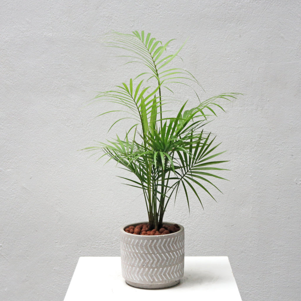 Chamaedorea elegans in Med Arrow Concrete Planter