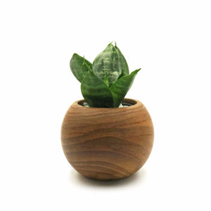 Sphere with Sansevieria