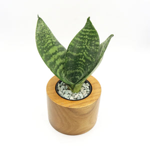 Cylindrical Teak Wood (Small) - with Sansevieria