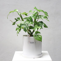Monstera minima in Large White Planter