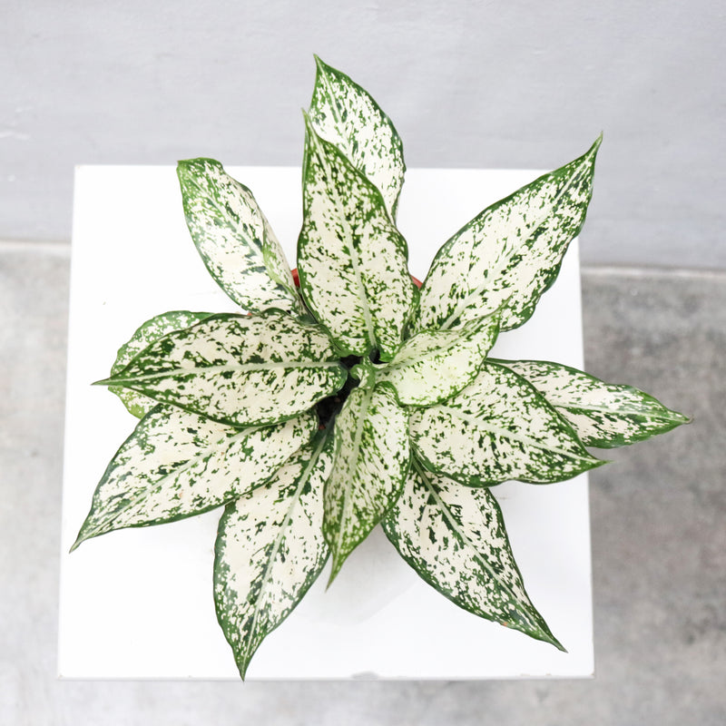 "Aglaonema ""Spring Snow"" in Plastic Pot"