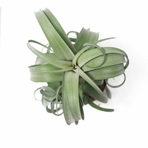 Air Plants - Tillandsia curly slim