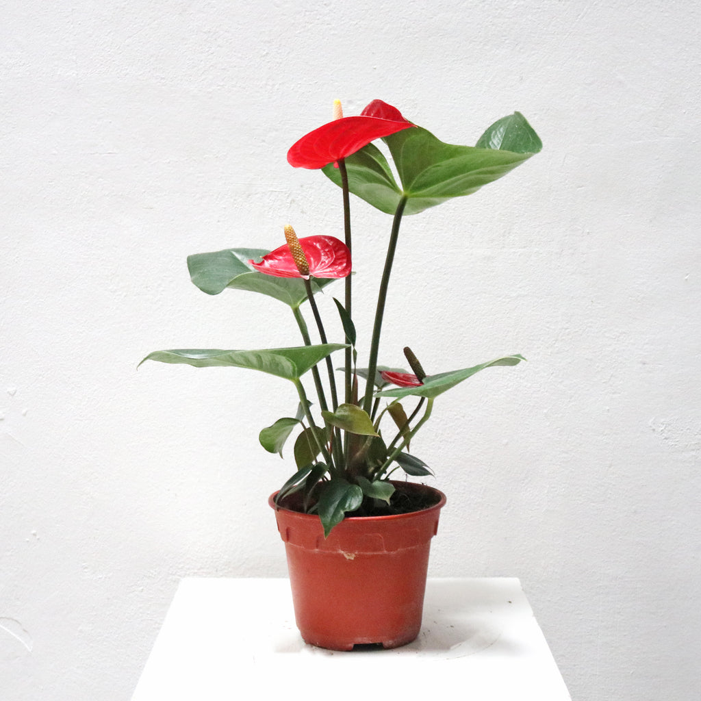 Anthurium andraeanum in Plastic Pot