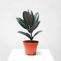 Burgundy Rubber Tree Plant