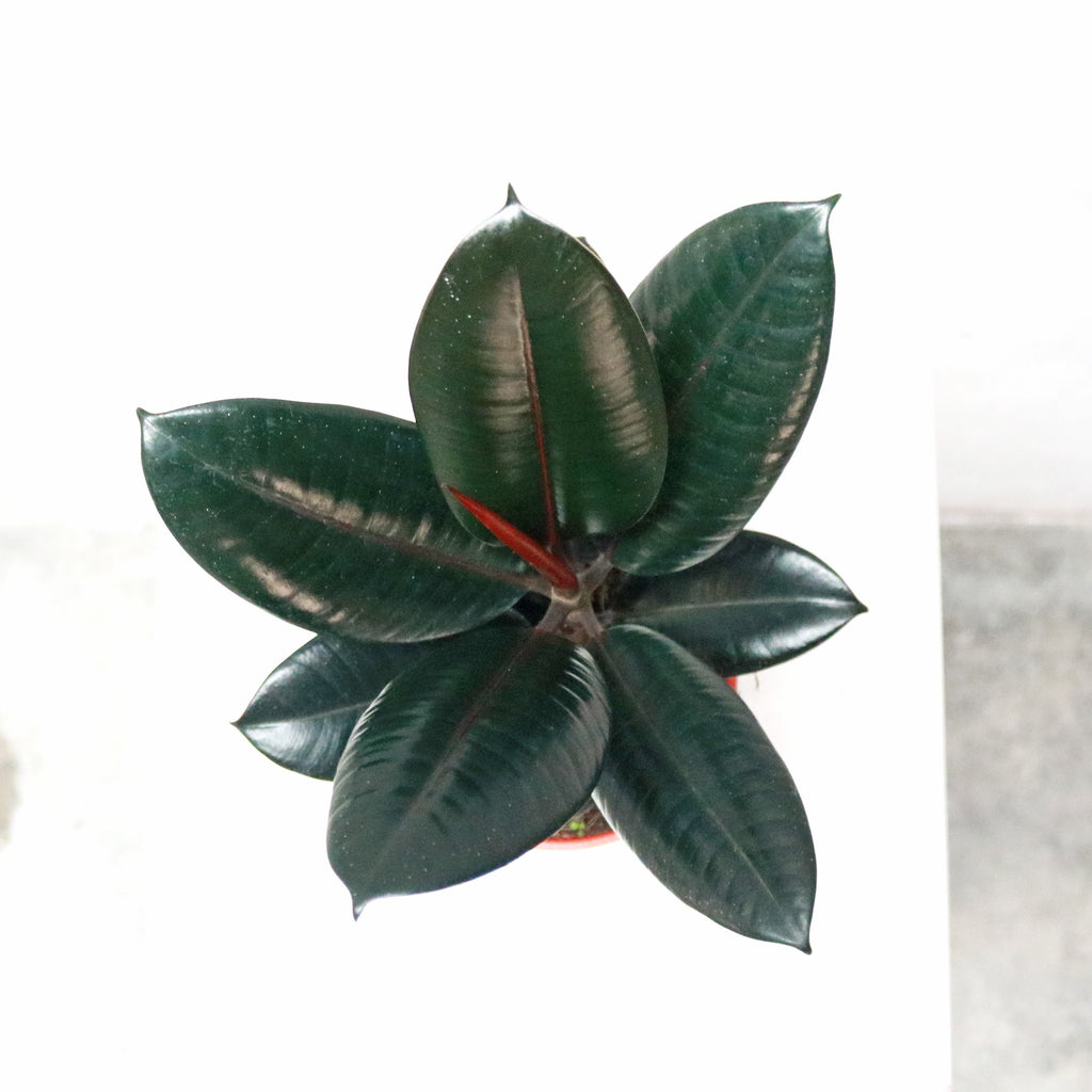 Burgundy Rubber Tree Plant in Plastic Pot