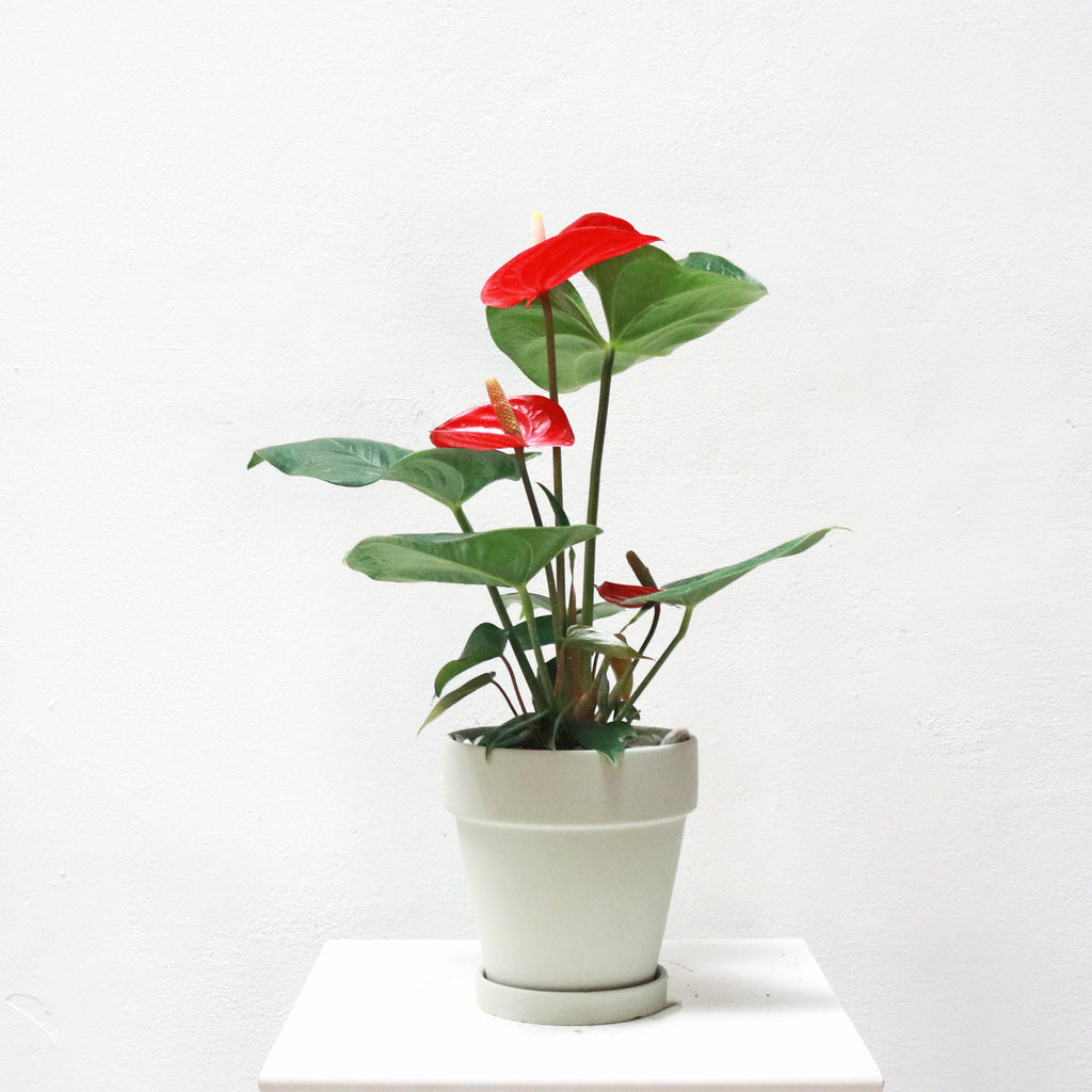 Anthurium andraeanum in Matte Grey Terracotta Planter (Large)