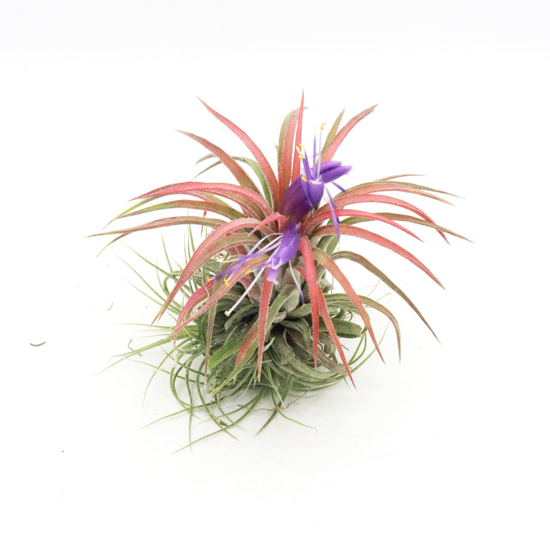 Air Plants - Tillandsia ionantha (Double)