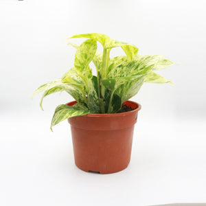 Marble Pothos in Plastic Pot (Small)