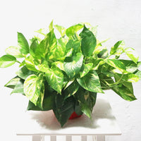 Marble Pothos in Hanging Plastic Pot