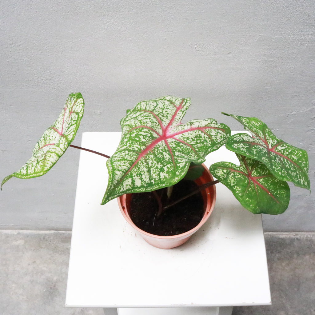 Caladium in Plastic Pot