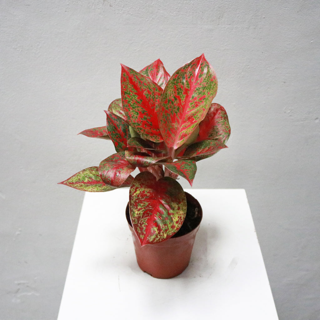 Aglaonema Red Ruby in Plastic Pot