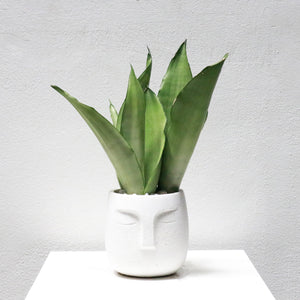 Sansevieria Trifasciata Moonshine in White Face Planter