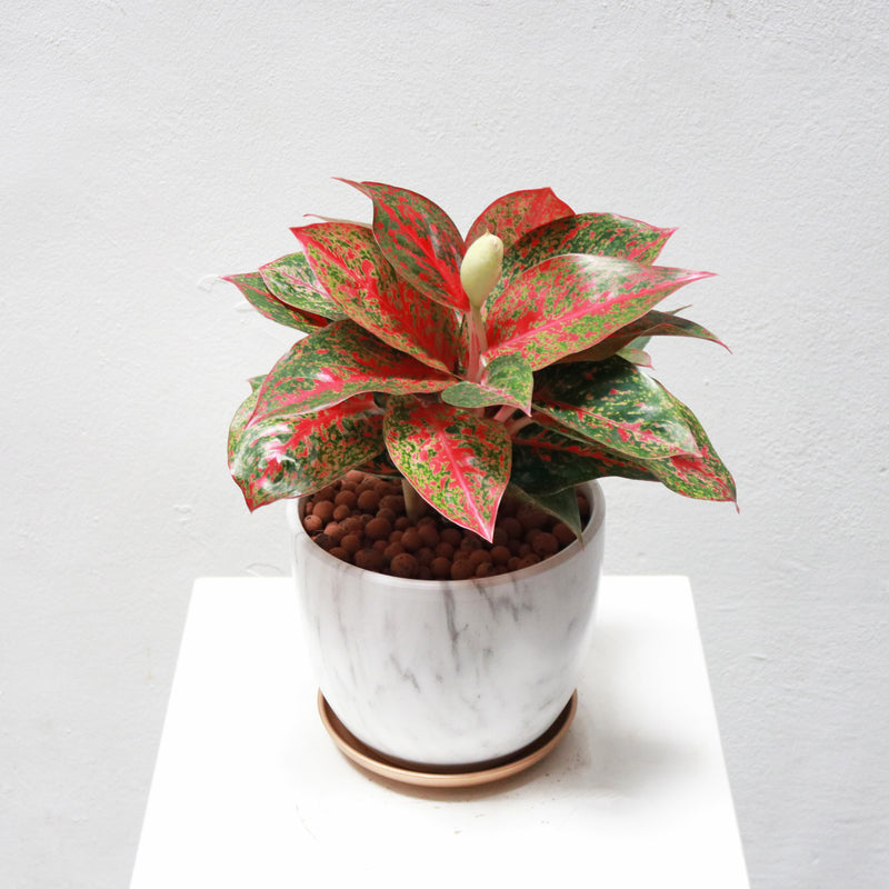 Aglaonema Red Ruby in Round Marble