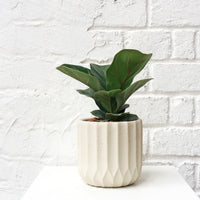 Ficus Lyrata - 'Fiddle Leaf Fig' in Off White Planter