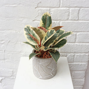 Rubber Plant Variegated in Leaf Concrete Planter