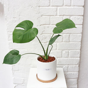 Monstera deliciosa (Medium Sized) in White Planter with Gold Saucer