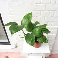 Monstera deliciosa in Plastic Pot