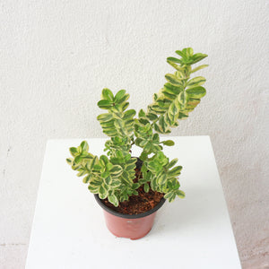 Hebe Variegata in Plastic Pot