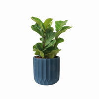 Ficus Lyrata - 'Fiddle Leaf Fig' in Navy Blue Concrete (SMALL LEAVES)