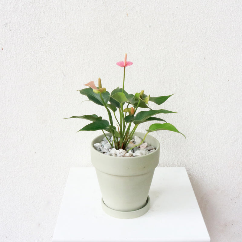 Anthurium andraeanum (Pink) in Matte Grey Terracotta Planter (Small)