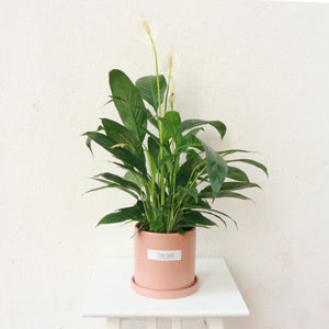 Spathiphyllum Chopin Peace Lily in Peach Ceramic Planter