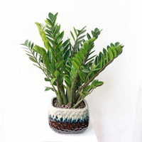 ZZ Plant aka jin qian shu (金钱树) in Glossy Two Tone Planter
