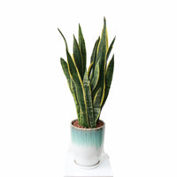 Sansevieria Trifasciata Laurentii in Tasseled Design Planter (金边虎尾兰, 黃边虎尾兰)