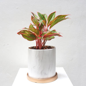 Aglaonema 'candy cane' in Large White Marble Planter