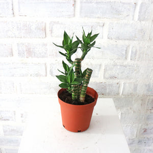 Lucky Bamboo in Plastic Pot