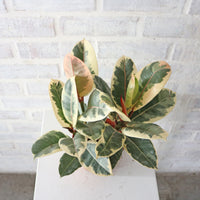 Rubber Plant Variegated (3 Stems)