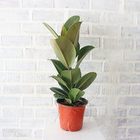 Rubber Plant Green in Plastic Pot