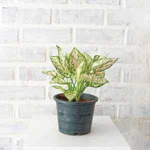 Aglaonema 'Etta Rose' in Plastic Pot