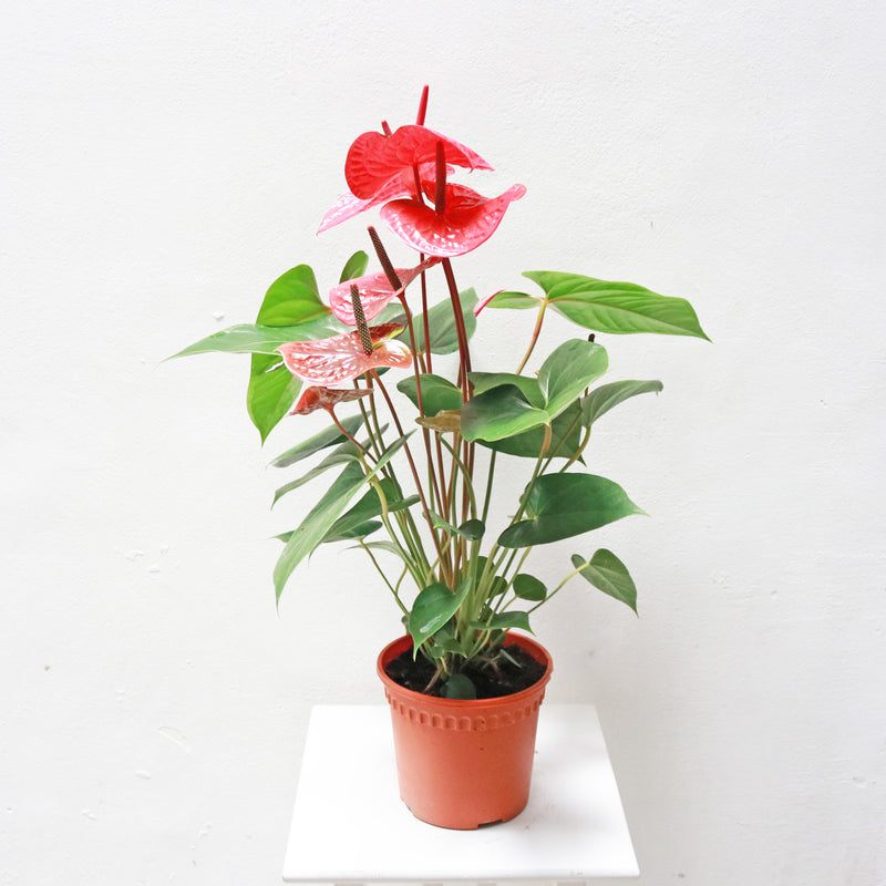 Anthurium andraeanum (Red) LARGE in Plastic Pot